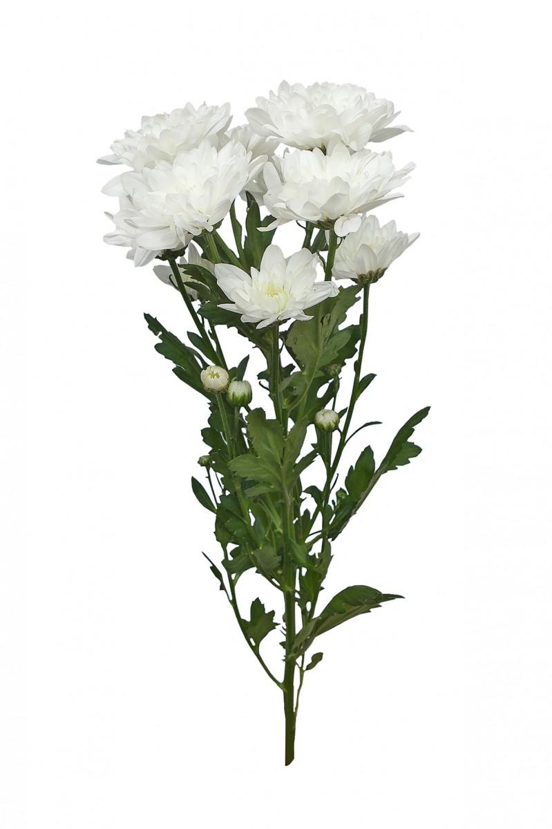 Хризантема (К). Белая