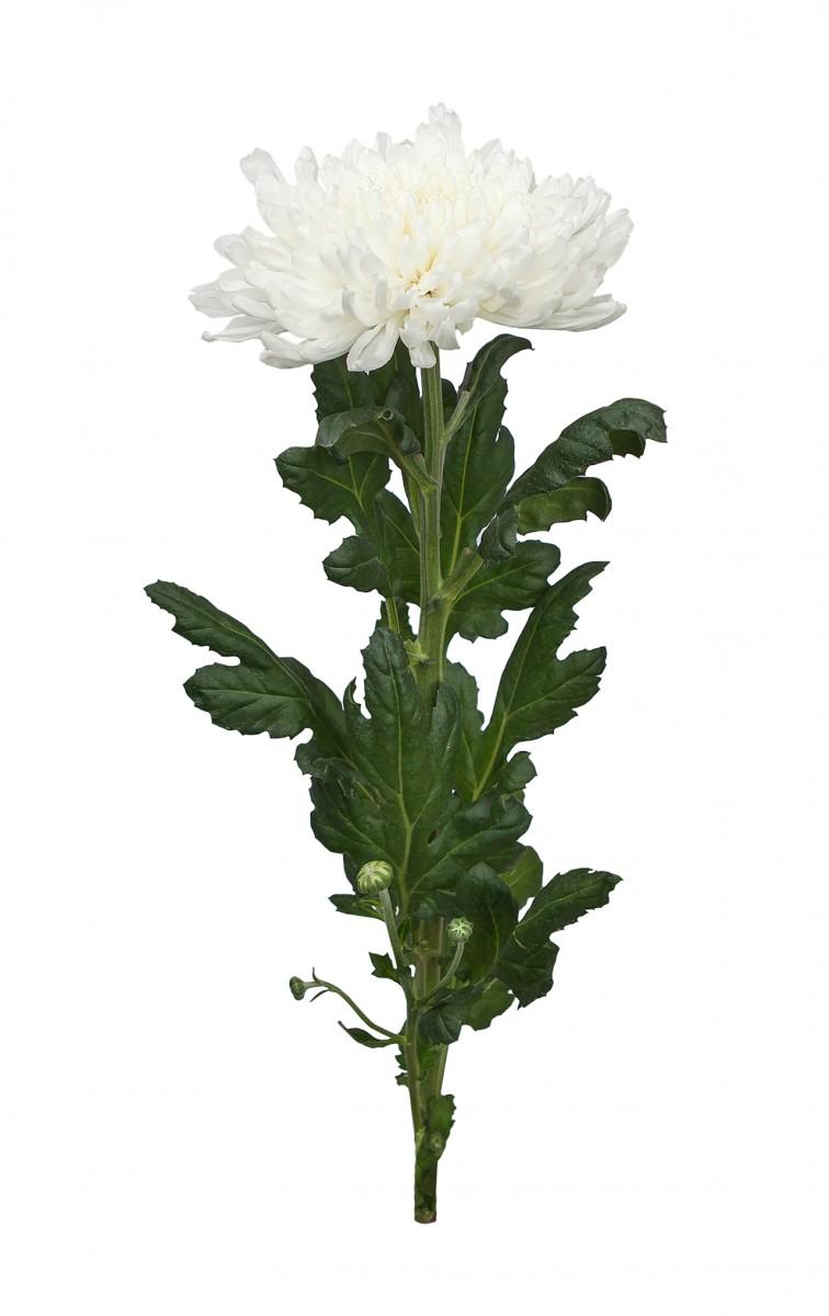 Хризантема. Белая